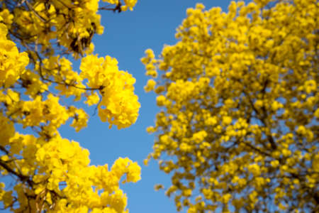 yellow flower tree: blur yellow flower tree with blue sky view Stock Photo