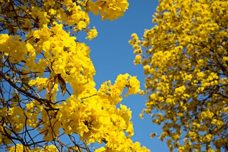 yellow flower tree: yellow flower tree with blue sky view