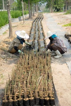 turf pile: Gardeners are prepare grass seedling on long row