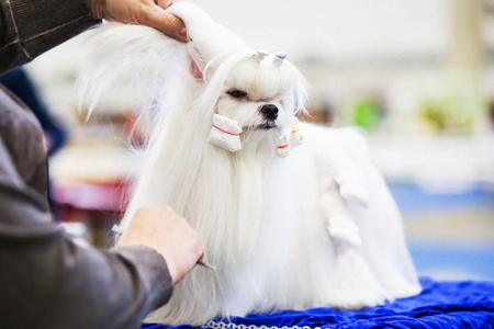 Little beauty shih-tzu dog at the groomers hand.