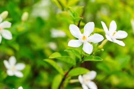 flora: white flora