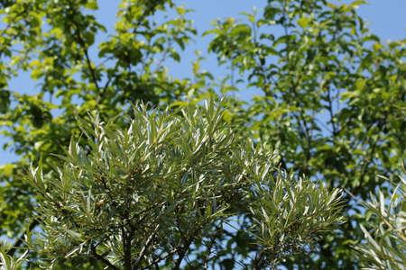 argousier: Argousier branches d'un arbre au printemps jardin d'�t�