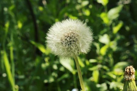 champ de fleurs: Dandelion wild field flowers in the garden grass summer