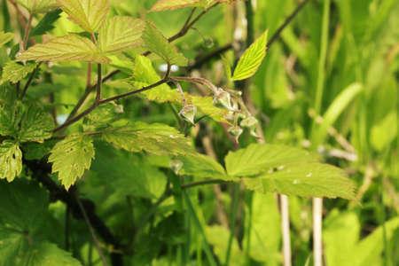 ovaries: Raspberry bushes with berries unripe ovaries garden grass summer autumn Stock Photo