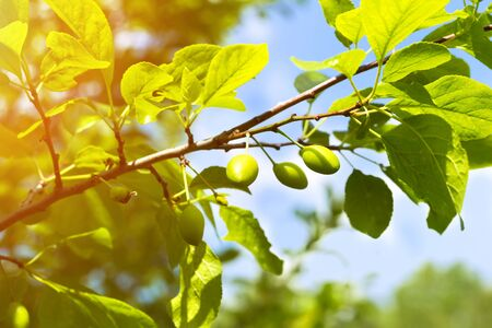 unripe: Unripe green plum tree branches