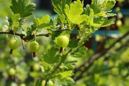 gooseberry: Berry bush garden gooseberry