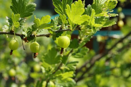 gooseberry bush: Giardino Berry cespuglio uva spina