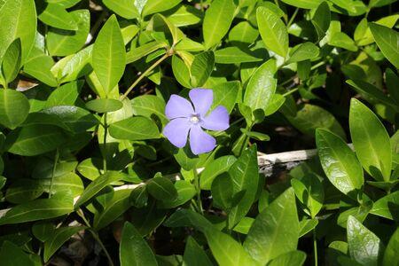 field of flower: Blue field flower garden grass