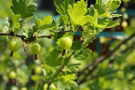 gooseberry bush: Berry bush garden gooseberry