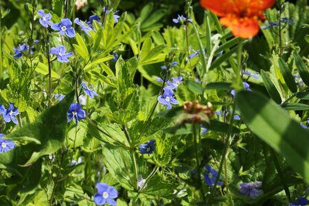 field of flower: Campo blu erba fiore giardino