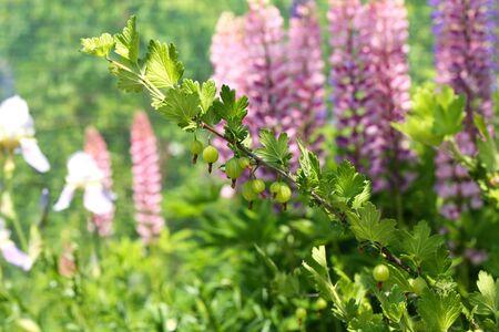 grosella: Berry arbusto jardín grosella espinosa Foto de archivo