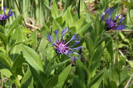 garden cornflowers: cornflowers wild wild flowers in the garden grass summer