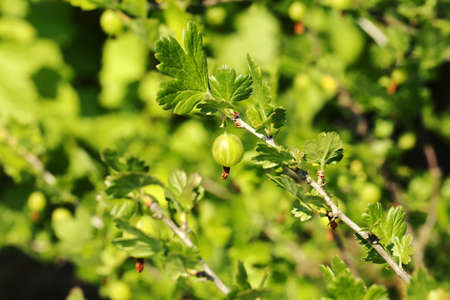 grosella: arbusto baya jard�n grosella espinosa
