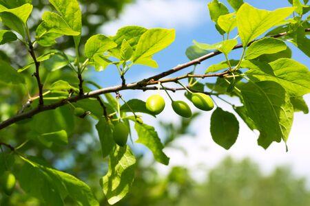 unripe green plum tree branches Stock Photo