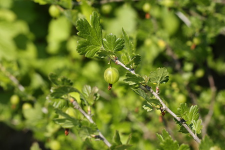 grosella: arbusto baya jardín grosella espinosa