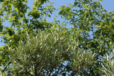argousier: Seabuckthorn branches of a tree in the garden summer spring