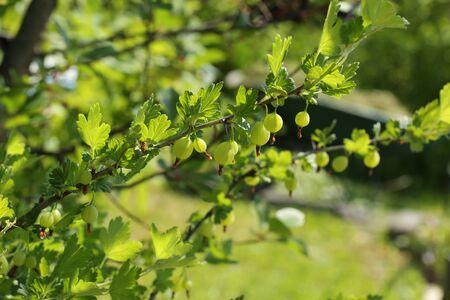 gooseberry bush:
