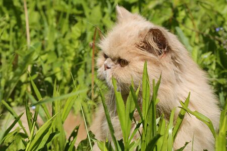 16 years: old Persian cat basking in the sun in the summer grass 16 years