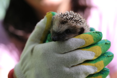 gardening gloves: little hedgehog in the hands of gardening gloves palm of your hand spring summer vacation