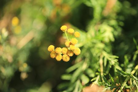 medicinal: Tansy medicinal herb garden