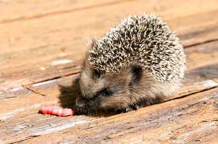 eats: young hedgehog eats raw meat old vintage wooden background is summer spring