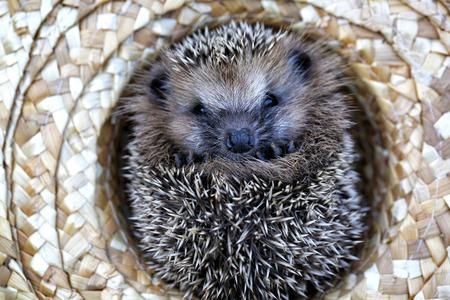 chapeau paille: hedgehog in a straw hat autumn Banque d'images