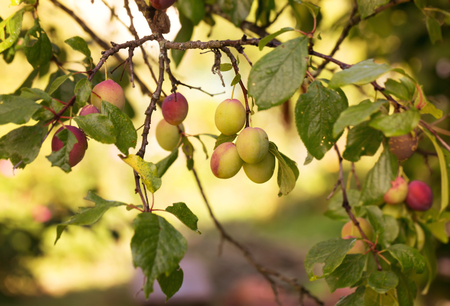 nus: unripe plums on a tree in the garden