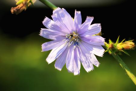 chicory flower: Wild chicory flower