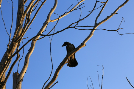 dried up: silhouette ravens on the old dried up tree twilight halloween