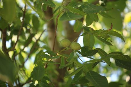 unripe: unripe walnut on the tree
