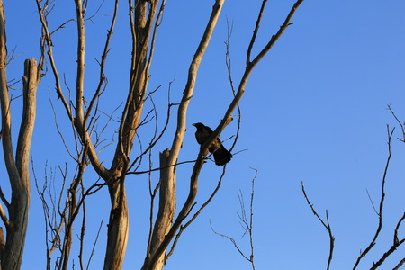 sombre: silhouette ravens on the old dried up tree twilight halloween