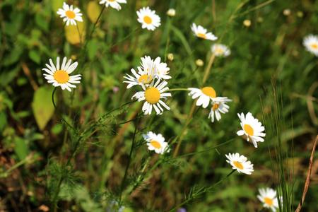 campo de margaritas: Margaritas de campo en el jard�n de flores de verano Foto de archivo