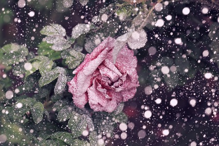 winter flower: Snowfall rose in the winter snow christmas new year soft selective focus Stock Photo