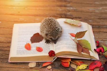 bibliomania: Hedgehog open book autumn leaves wooden background