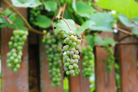 syrah: grapes on a wooden fence rustic style. Selective focus Stock Photo