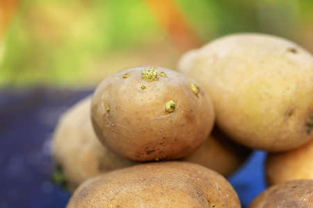 unwashed: potatoes on the old wooden background organic farm products retro Stock Photo