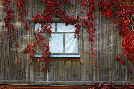 antiquity: window old wooden house overgrown with wild grape ivy autumn retro rustic style vintage wood Antiquity Stock Photo