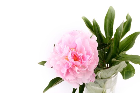 dearness: Peony isolated on a white background light pink Stock Photo