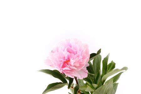 subtlety: Peony isolated on a white background light pink Stock Photo