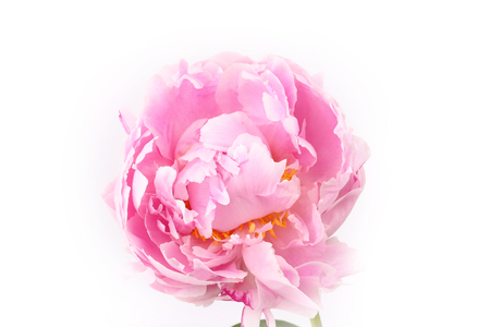 flores moradas: Peony isolated on a white background light pink Foto de archivo