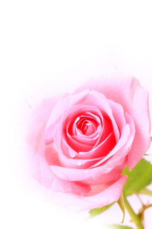 tenderness: rose gentle pink  isolated on white background soft selective focus romantic tenderness Stock Photo
