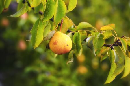 mouth watering: pear on the tree in the garden summer rustic background