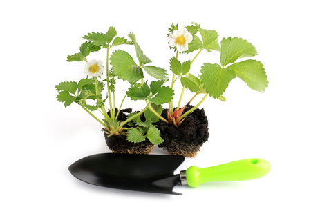scapula: strawberry seedlings in the garden wild strawberry scapula isolated on white background