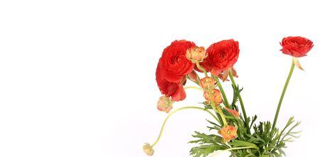 twain: Ranunculus flowers isolated on white background