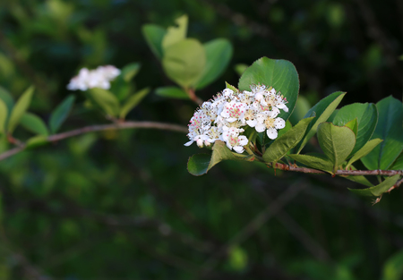 bacca: black chokeberry blooming garden spring background with soft selective focus Stock Photo