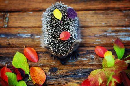 hedgehog on the old wooden background in grunge style with autumn leaves rural retro style Stock Photo