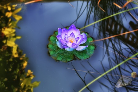 water lily in a pond summer blurred background shallow depth of field