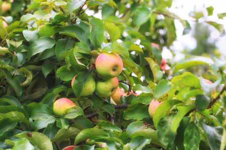 crab apple tree: apples on the tree in the garden of a small depth of field summer village Stock Photo