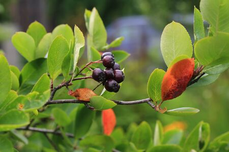 bacca: black chokeberry in the garden Stock Photo