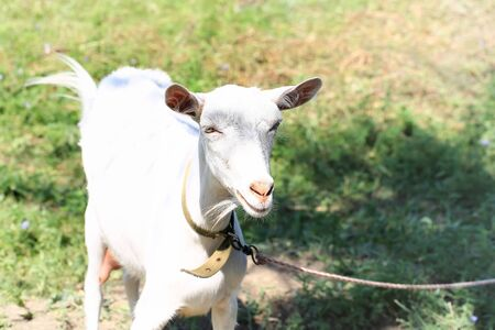 yeanling: goat for a summer village yard